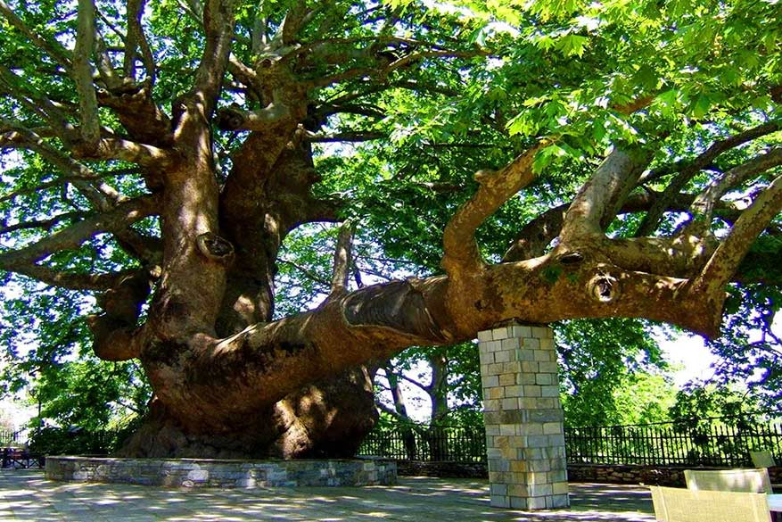 In Tsagarada wordt er nog steeds ritueel gedanst onder een historische boom. © Via youtube