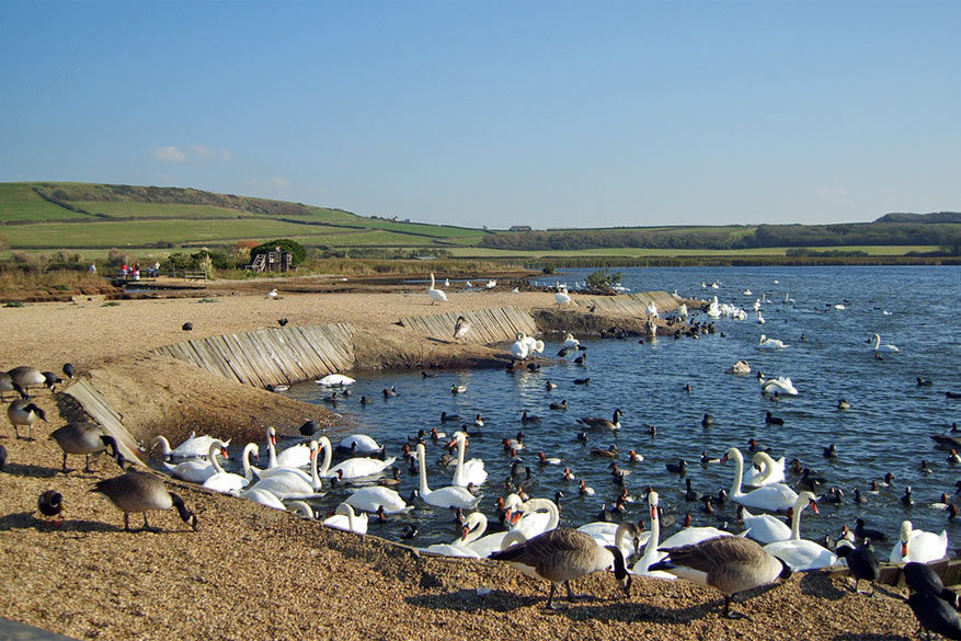Zwanen bij de vleet in de Abbotsbury Swannery! © ripplestone garden via Flickr Creative Commons