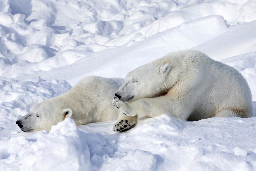 IJsberen om hun gemak in het Wildlife Park van Rovaniemi. © Pekka Isomursu via Flickr Creative Commons