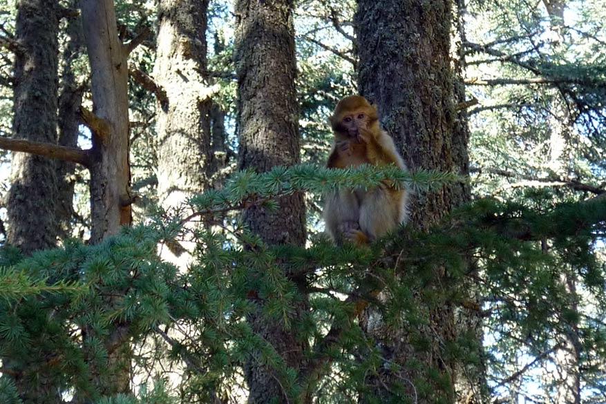 Van een glimp op tijdens het wandelen van de Magot-aap, uniek in het Midden-Atlasgebergte en bij uitbreiding Marokko.