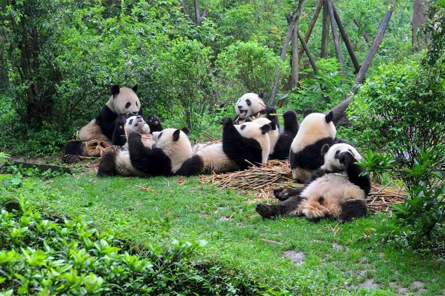 Dwars door China: panda's uit Chengdu zijn het symbool van het land