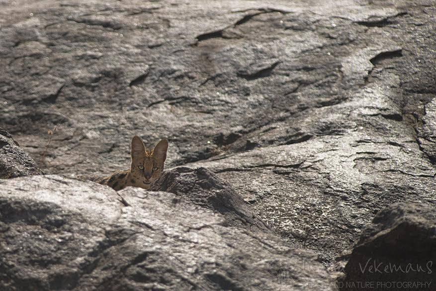 Een serval durft ook zijn kop uit te steken. Deze middelgrote katachtige vindt zijn naam terug in de Portugese woordenboeken waar het wolvenhert betekent.
