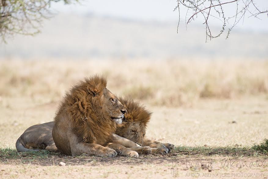 Dag 3: de derde dag blijven in we in Serengeti waar we verwend worden met een mooie zonsopgang. Met ons ontbijt onder de arm zoeken we een geschikte plek om te fotograferen en we hebben geluk: twee prachtige leeuwen liggen te luieren in het gras.