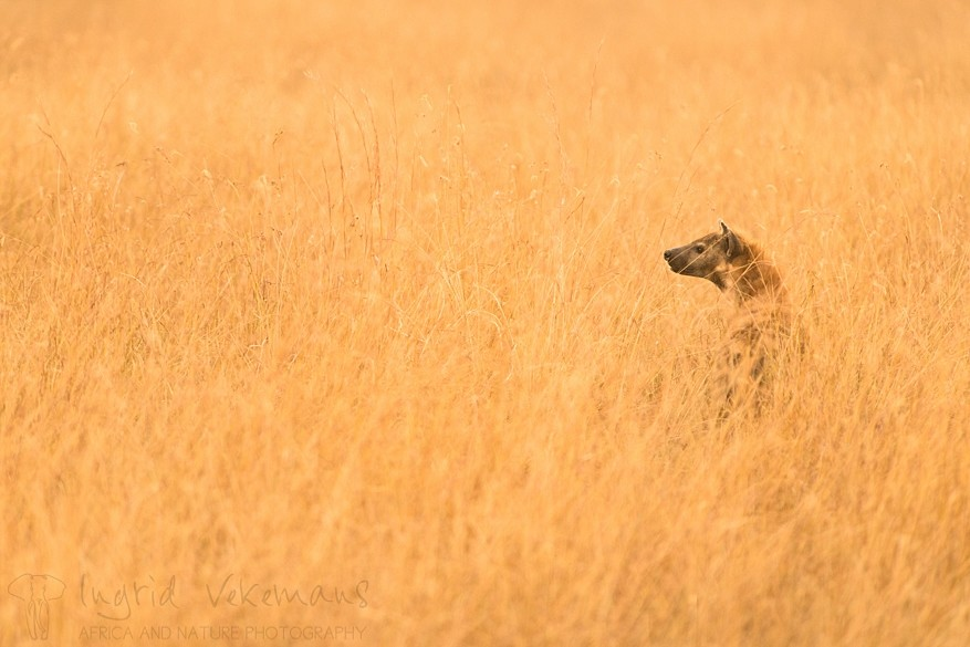 De vijfde fotodag ronden we af met een fotosessie in de savanne waar het gouden licht van de ondergaande zon onder meer deze gevlekte hyena een prachtig fotografisch kader geeft.