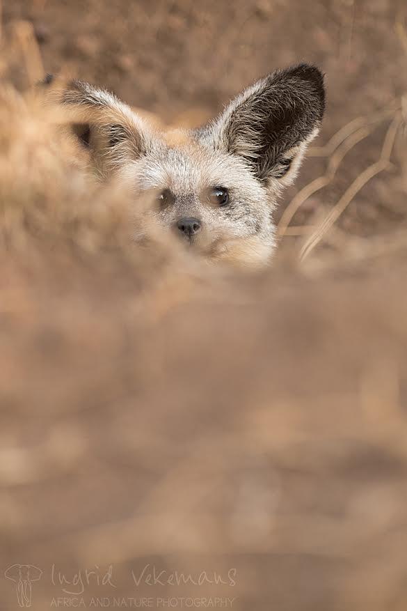 Dag 6: onze laatste dag in Serengeti begint met een leuke verrassing. De zelden geziene grootoorvos laat zich uitgebreid en van dichtbij fotograferen. Het diertje oogt schattig, maar duikt geregeld schuw weg in zijn hol. Gelukkig neemt zijn nieuwsgierigheid vanochtend de bovenhand.