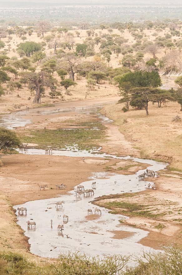 In de late namiddag verlaten we de krater om naar Tarangire National Park te reizen. Vanuit de tent in het kamp kijken we uit over de Tarangirerivier. Dorstige dieren weten deze plek ook snel te vinden. Kijk maar naar deze kudde zebra's.
