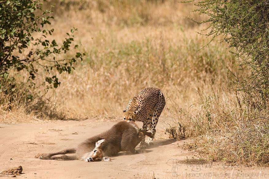 Dag 8: we rijden zelf ook naar de rivier waar we een hongerige cheetah een pas gevangen waterbok zien verslepen. Het lijf van de prooi is nog helemaal slap, de ogen nog niet dof en de cheetah hijgt zwaar. Dit gaat om een recente, maar succesvolle jachtpoging.