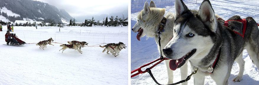 Adelboden-Lenk: hondenrace