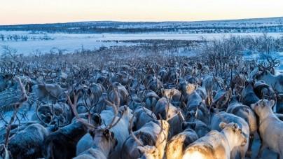 Zo migreren rendieren in Lapland vanuit de lucht