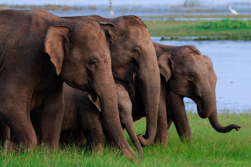 Sri Lanka: olifanten in het Minneriya National Park