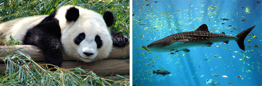 Atlanta: panda's spotten in de Zoo en walvishaaien in Georgia Aquarium