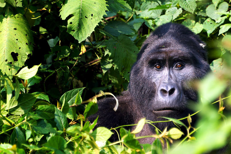 Gorilla's vrezen voor hun habitat in de Afrikaanse jungle
