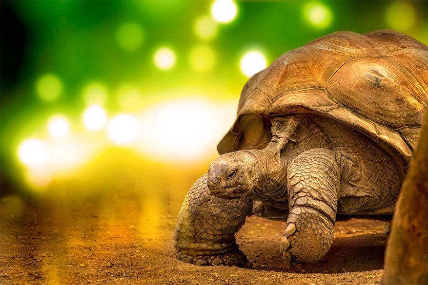 Reuzenschildpadden zijn thuis op de Galapagoseilanden
