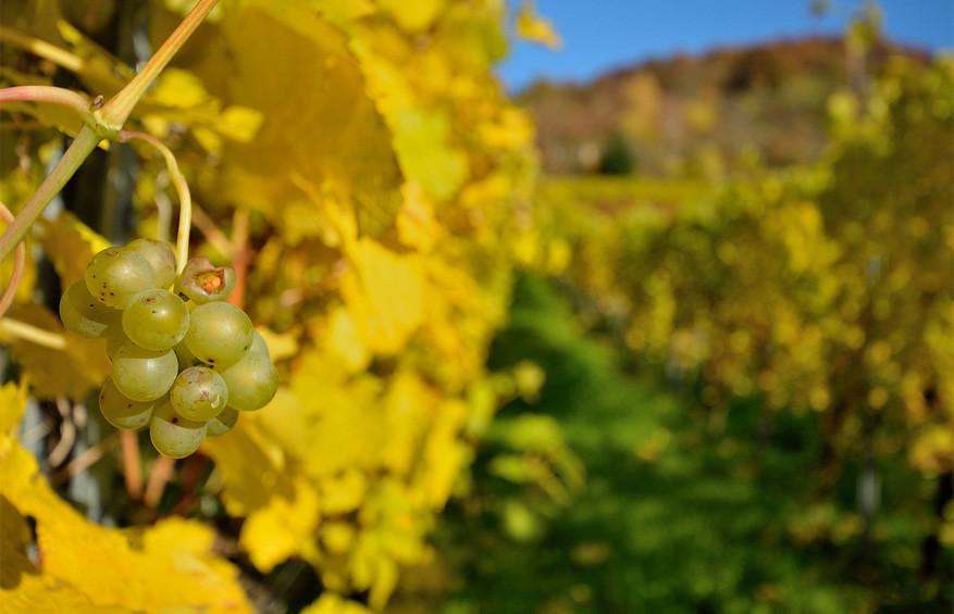 Wijngaarden in Cochem