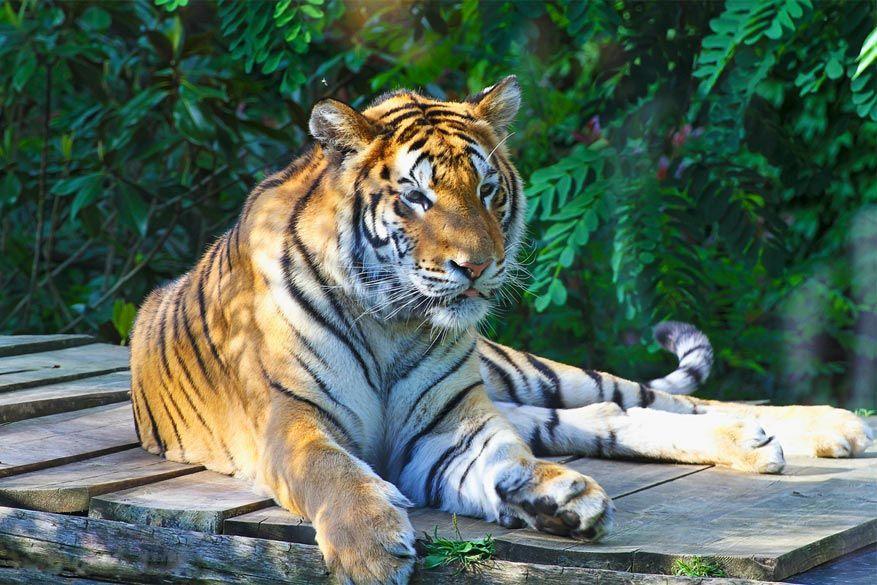 Amnéville: Tiger World is de nieuwe show in de dierentuin