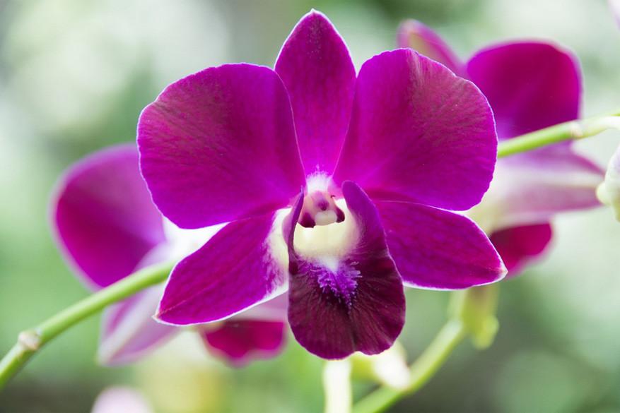 Singapore: hier vind je orchideeën genoeg