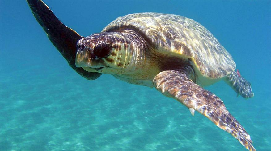 Zakynthos: dikkopschildpadden krijgt het steeds harder te verduren op Marathonissi. © Tieme Pool