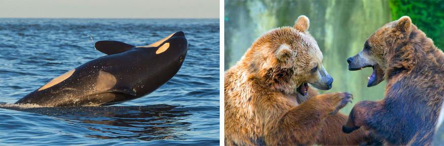 In British Columbia spot je zowel orka's als beren. © Mario Nonaka | © Andrea Izzotti