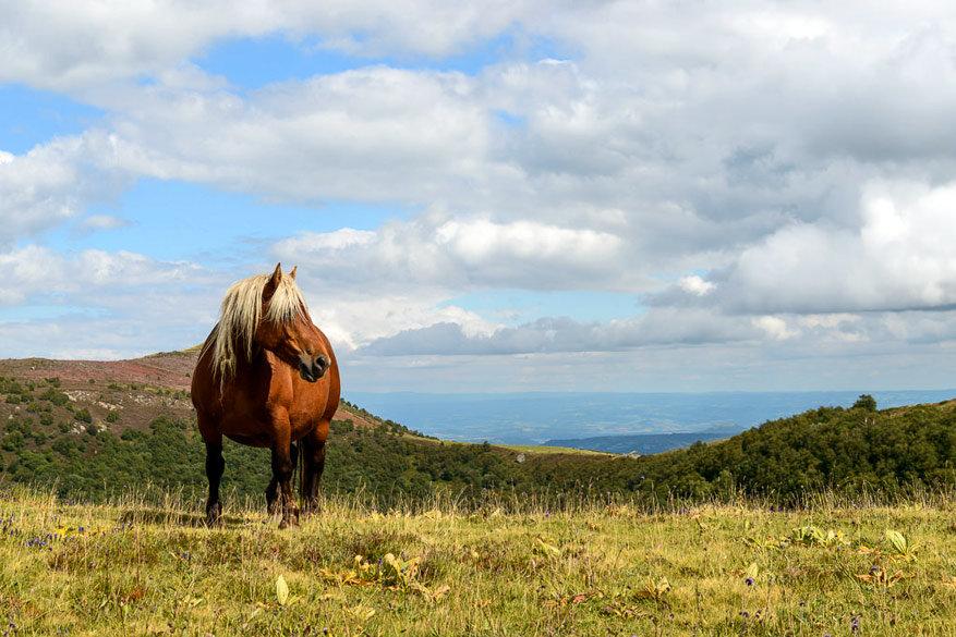 Het Comtois paard