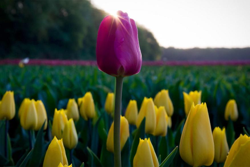 De eerste tulp in Nederland werd in Leiden geplant. © Vikas