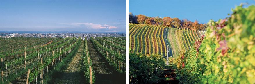 De wijngaarden in Wenen bieden een knap zicht op de stad