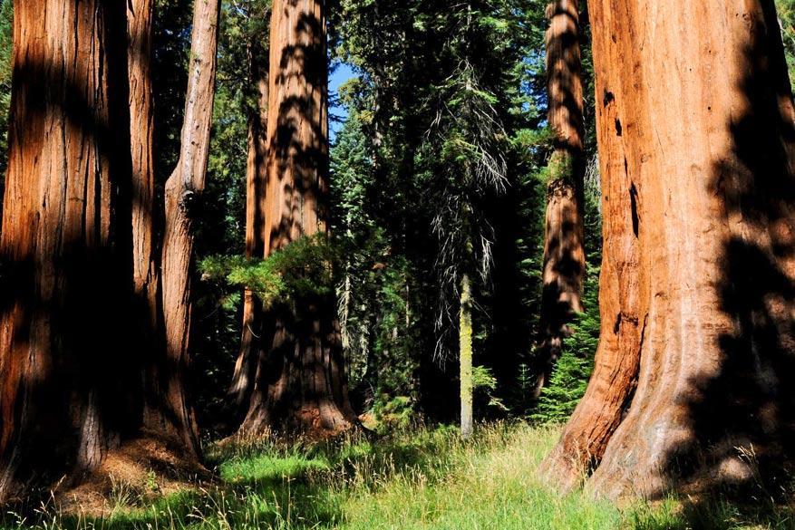 3.-Sequoia-NP7