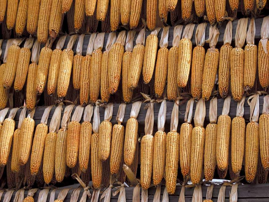 Gedroogde maïs