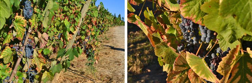 Kuieren tussen wijngaarden en proeven van de druiven
