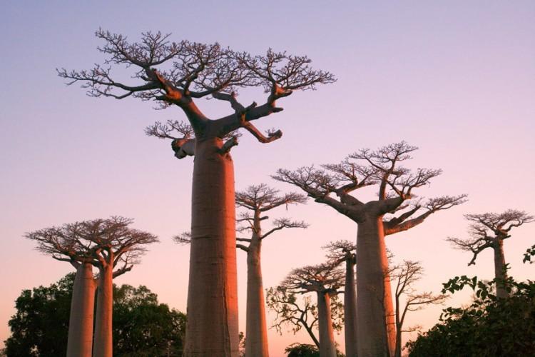 5. Madagaskar Madagaskar, het op vier na grootste eiland ter wereld, maakte in de 19e eeuw voor het eerst kennis met chocolade. De combinatie van onder andere de natuurlijke mineralen, het klimaat en de aanwezige flora en fauna, zorgden ervoor dat de Madagassische cacao zich vandaag de dag heeft ontwikkeld tot een chocolade met een bijzonder fruitige smaak. Voor een zoektocht naar deze smaak kunnen bezoekers terecht bij één van de vele chocolatiers op het eiland. © GF