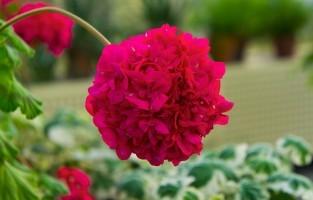 9. In de National Botanic Garden of Wales vind je niet alleen bloemen of planten, je staat er ook oog in oog met beeldhouwwerken van Wales' meest vooraanstaande hedendaagse beeldhouwers. Een stalen beelden gevuld met schapenwol en verbranden gaspeldoorn (Tarw, the Welsh Black Bull van Sally Matthews) wisselt af met werken uit metaal of hout. De botanische tuin ligt in het zuidwesten van Wales op een uur rijden vanuit Cardiff. © Wikimedia Commons