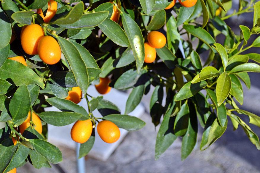 Appelsienen groeien in Cyprus met hopen aan de bomen.