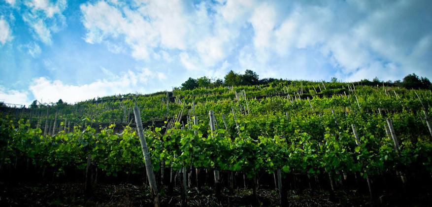 Ahrtal_wijnstokken