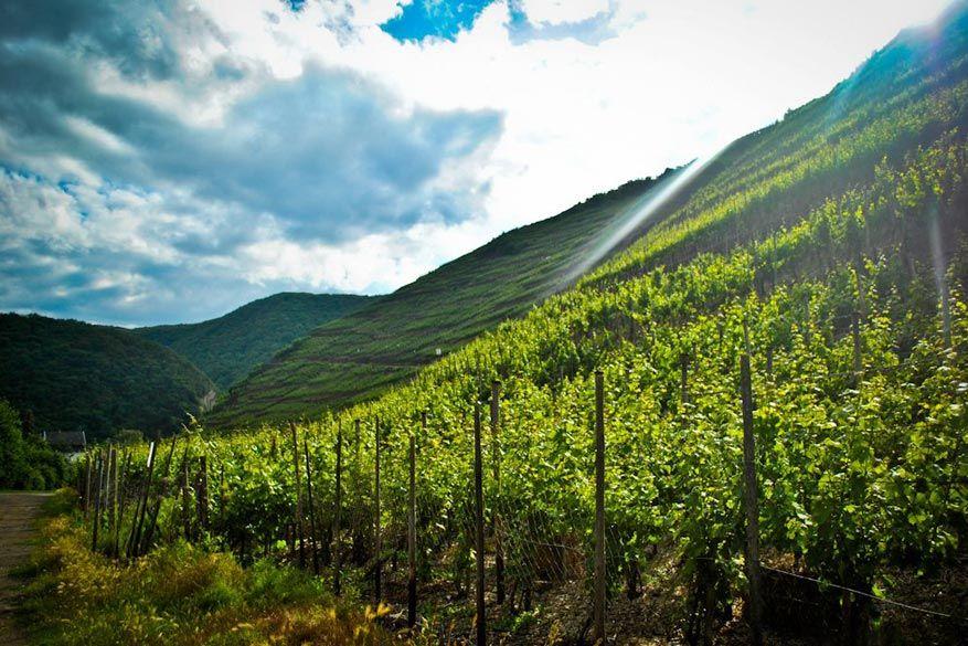Wanneer de zon komt piepen boven de wijngaarden.