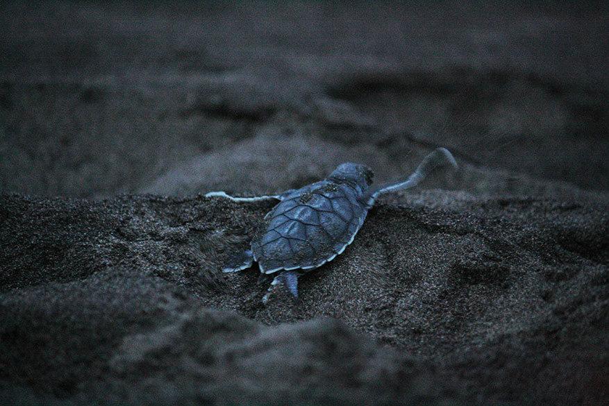 De schildpadjes kruipen guitig de zee in.