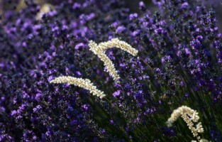 1. Landschap vol lavendel Van de regio rond Sault en Aurel in het noorden tot de Luberon in het zuiden, de Vaucluse omvat kilometers lange uitgestrekte lavendelvelden. Dit geurende mauve moois levert in de zomermaanden een van de meest idyllische landschappen op die telkens weer de bezoekers kunnen bekoren. Tip: bezoek Aroma'Plantes in Sault. Verschillende lavendelwandelingen vertrekken vanuit dit domein of je kan ontdekken hoe ze lavendelolie distilleren. © CAILHOL Xavier/Go Production