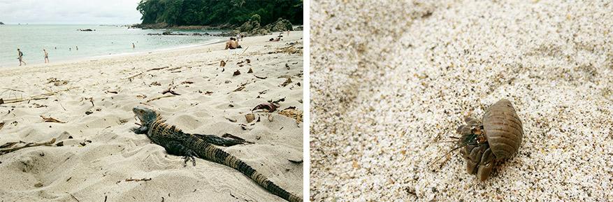 Het strand van Manuel Antonio heeft parelwit zand en vreemde beestjes.