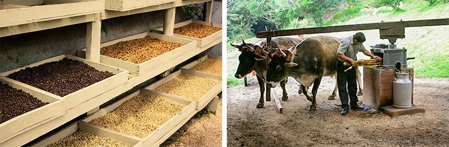 Elke stap van het productieproces van chocolade, koffie en suiker wordt uitgelegd.