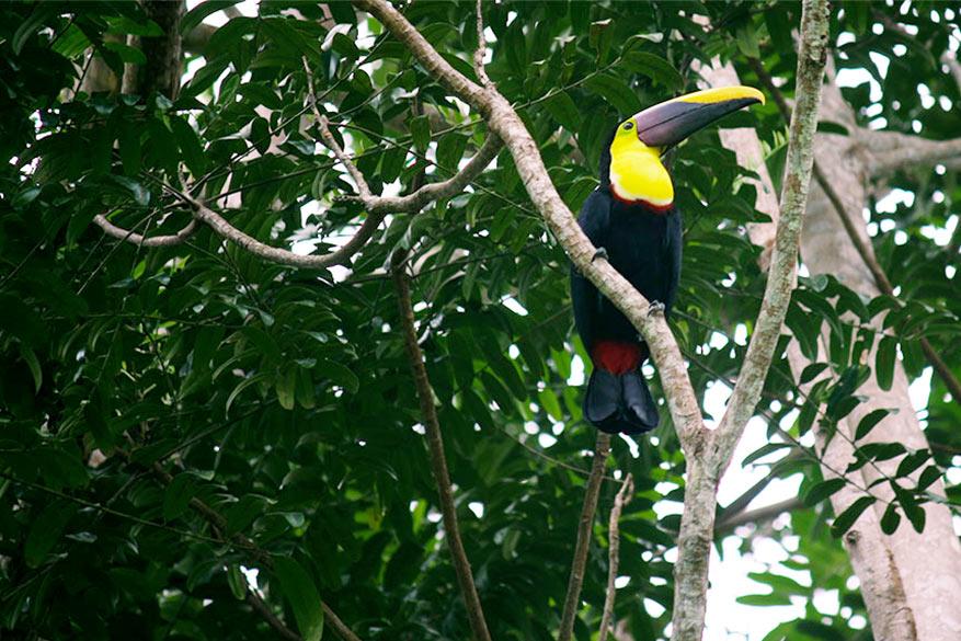 De kleurrijke toekan is het symbool van Costa Rica.