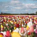 Nederland_tulpen