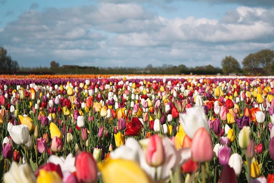 Van veld tot vaas: beleef de tulpengekte in en rondom Amsterdam