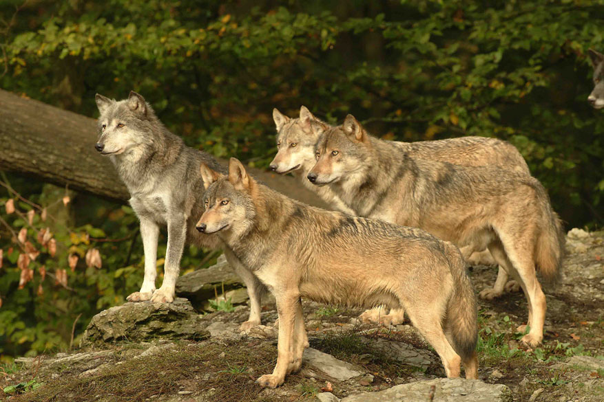 Ontmoet echte wolven in Bad Mergentheim! © Wildpark Bad Mergentheim