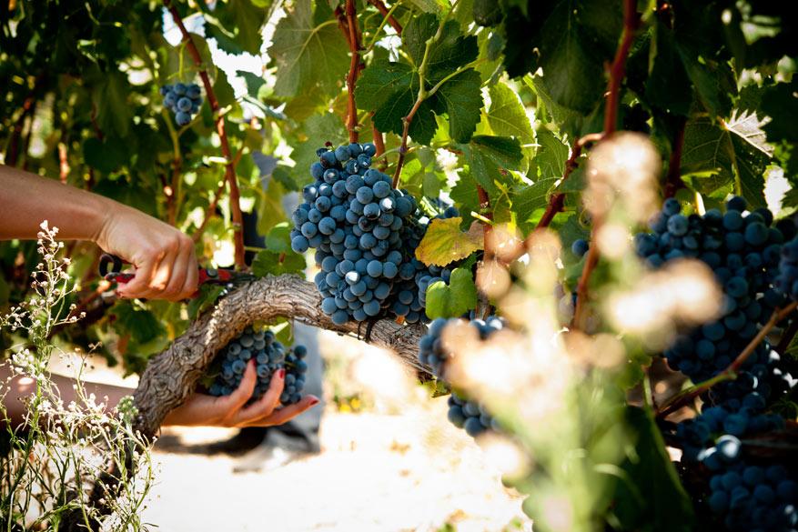 Stippel je route uit en ga zelf druiven plukken en wijnmaken!
