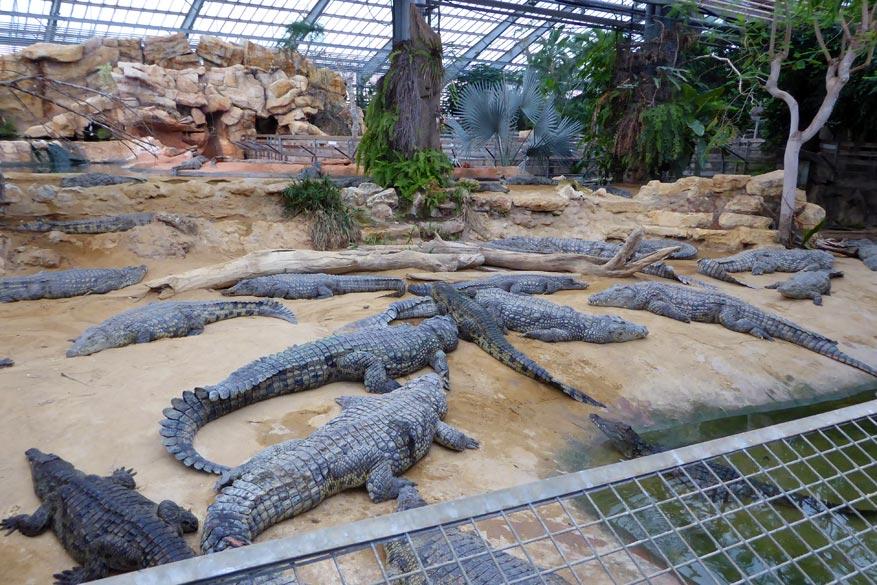 Krokodillen spotten in de 'ferme aux crocdiles'!
