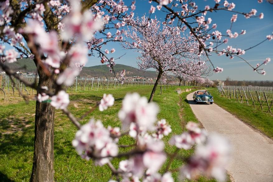 Amandelboompjes in bloei langs de Deutsche Weinstrasse. © Dominik Ketz - Rheinland-Pfalz Tourismus